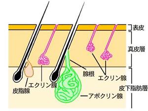 人の汗腺を横から見た画像